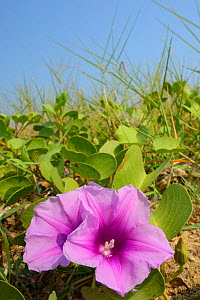 Beach Morning Glory (Ipomoea pes-caprae) Pulicat Lake, Tamil Nadu, India, January 2013. - Staffan Widstrand