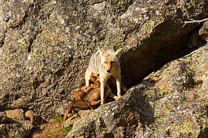 Coyote (Canis latrans) female nursing pups, Yellowstone National Park, Wyoming, USA, June.  -  TOM MANGELSEN