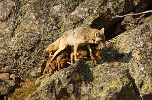 Coyote (Canis latrans) female walking away from nursing pups, Yellowstone National Park, Wyoming, USA, June.  -  TOM MANGELSEN