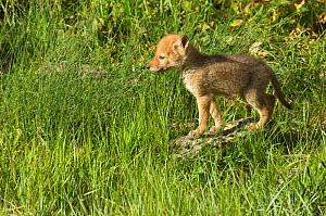 Coyote (Canis latrans) pup standing in grass, Yellowstone National Park, Wyoming, USA. June.  -  TOM MANGELSEN