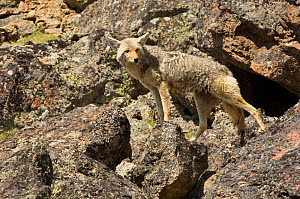 Coyote (Canis latrans) female standing on boulders, Yellowstone National Park, Wyoming, USA. June.  -  TOM MANGELSEN