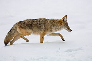 Coyote (Canis latrans) walking through snow along the Yellowstone River in Yellowstone National Park, Wyoming, USA. October.  -  TOM MANGELSEN