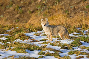 Coyote (Canis latrans) standing in patchy snow, Yellowstone National Park, Wyoming, USA. October.  -  TOM MANGELSEN