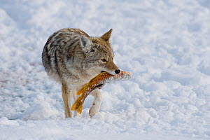 Coyote (Canis latrans) carrying fish prey through snow, with standing in snow, Grand Teton National Park, Wyoming, USA. February.  -  TOM MANGELSEN