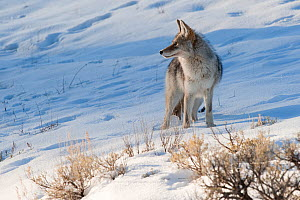 Coyote (Canis latrans) with standing in snow, Yellowstone National Park, Wyoming, USA. February.  -  TOM MANGELSEN