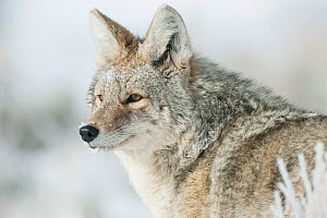 Coyote (Canis latrans) portrait in snow, Yellowstone National Park, Wyoming, USA. February.  -  TOM MANGELSEN
