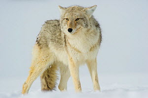 Coyote (Canis latrans) with ears back standing in snow, Yellowstone National Park, Wyoming, USA. February.  -  TOM MANGELSEN