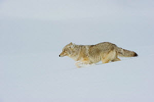 Coyote (Canis latrans) walking through deep snow, Yellowstone National Park, Wyoming, USA. February.  -  TOM MANGELSEN