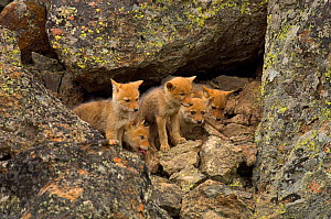 Litter of Coyote (Canis latrans) pups emerging from den. Yellowstone National Park, Wyoming, USA, June.  -  TOM MANGELSEN