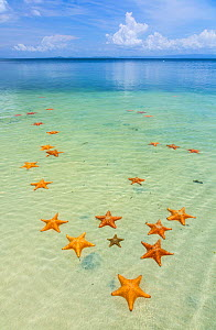 Starfish Beach, with many starfish in the shallow sea (Asteroidea) Colon Island, Bocas del Toro Archipelago, Bocas del Toro Province, Panama,  -  Juan Carlos Munoz,Juan  Carlos Munoz