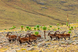 Walia ibex (Capra walie) herd, Simien Mountains National Park, Ethiopia  -  Juan  Carlos Munoz