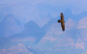 Bearded vulture (Gypaetus barbatus) in flight over Simien Mountains, Ethiopia  -  Juan Carlos Munoz