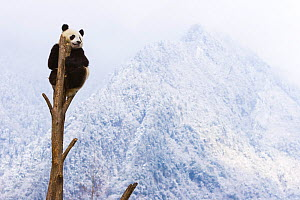 Giant panda (Ailuropoda melanoleuca) at the top of a tree, Sichuan, China, January  -  Juan  Carlos Munoz