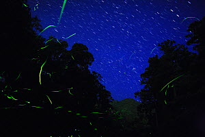 Japanese fireflies (Luciola cruciata) in flight at night, endemic species, Yaku-shima UNESCO World Heritage Site, Kagoshima,  Japan, May  -  Yukihiro Fukuda,Yukihiro  Fukuda