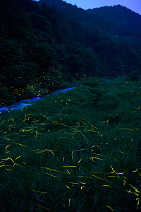 Japanese fireflies (Luciola cruciata) in flight at night, Japan endemic species, Hino-River, Nichinan-chou, Tottori, Japan, July  -  Yukihiro  Fukuda