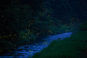 Japanese fireflies (Luciola cruciata) in flight at night, Japan endemic species, Hino-River, Nichinan-chou, Tottori, Japan, July  -  Yukihiro Fukuda,Yukihiro  Fukuda