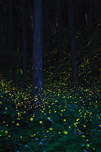 Japanese fireflies (Luciola cruciata) in flight at night, Japan endemic species, Nichinan-chou, Tottori, Japan, July  -  Yukihiro  Fukuda