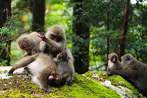 Yaku-shima macaques (Macaca fuscata yakui) grooming each other, with young baby, in the background another baby with its mother, Yakushima UNESCO World Heritage Site, Kagoshima, Japan, September  -  Yukihiro Fukuda