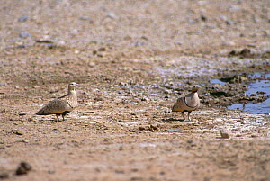 Black-bellied Sandgrouse (Pterocles orientalis) male (on right) and female, Touran Protected Area, now part of Khar Turan National Park, Semnan Province, Iran  -  Gertrud & Helmut Denzau