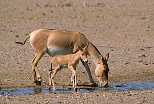 Iranian Wild Ass or Onager (Equus hemionus onager) Mare with foal, Touran Protected Area, now part of Khar Turan National Park, Semnan Province, Iran - Gertrud & Helmut Denzau