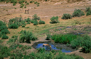 Iranian Wild Ass / Onager (Equus hemionus onager) drinking from pool, Touran Protected Area, now part of Khar Turan National Park, Semnan Province, Iran - Gertrud & Helmut Denzau