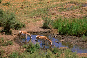 Iranian Wild Ass / Onager (Equus hemionus onager) mother and foal drinking from pool, Touran Protected Area, now part of Khar Turan National Park, Semnan Province, Iran - Gertrud & Helmut Denzau
