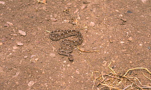 Saw Scaled Viper (Echis carinatus) camouflaged on ground,  Touran Protected Area, now part of Khar Turan National Park, Semnan Province, Iran  -  Gertrud & Helmut Denzau