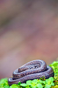 Chilean slender snake (Tachymenis chilensis chilensis) Contulmo Natural Monument, Chile, December - Bert Willaert,Bert  Willaert