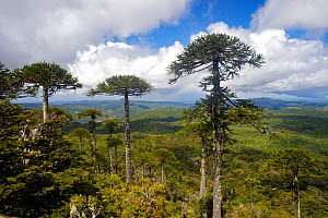 View over National Park Nahuelbuta with Araucaria trees, Chile, December 2012  -  Bert Willaert