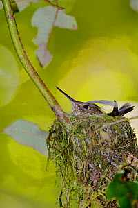 Green-backed Firecrown (Sephanoides sephanoides) nesting next to a hiking trail in Mocha Island National Reserve, Mocha Island, Chile, December  -  Bert  Willaert