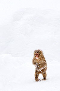 Japanese Macaque (Macaca fuscata) juvenile standing up with feet pointed inward, Jigokudani, Japan, January  -  Diane McAllister,Diane  McAllister
