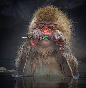 Japanese Macaque (Macaca fuscata) biting needles from tree branch while sitting in hot spring in Jigokudani, Japan, January  -  Diane  McAllister