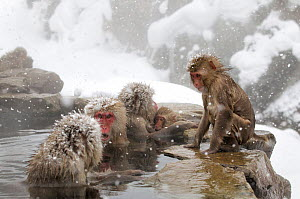 Japanese Macaque (Macaca fuscata) females gather at one end of the hot springs, Jigokudani, Japan, February  -  Diane McAllister,Diane  McAllister