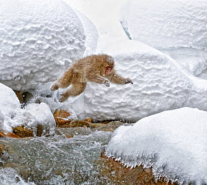 Japanese Macaque (Macaca fuscata) leaping across the rapids onto boulders in Hell Valley, Jigokudani Japan, February  -  Diane McAllister