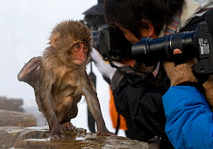 Japanese Macaque (Macaca fuscata) juvenile appears to be doing tricks to get some attention in Jigokudani, Japan. - Diane McAllister,Diane  McAllister