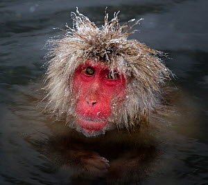 Japanese Macaque (Macaca fuscata) with icy strands of fur on its head, Jigokudani, Japan, February  -  Diane McAllister,Diane  McAllister