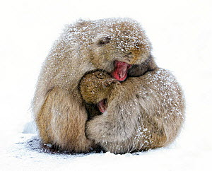 Japanese Macaque (Macaca fuscata) male and female huddle together during a light snowfall in Jigokudani Japan, January  -  Diane McAllister,Diane  McAllister