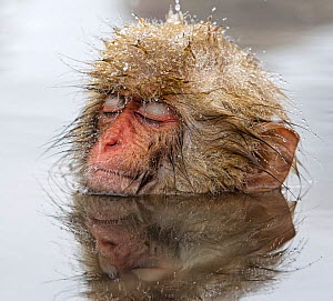 Japanese Macaque (Macaca fuscata) young one, appearing quite relaxed in thermal pool, even falling asleep, in Jigokudani, Japan, February - Diane McAllister,Diane  McAllister