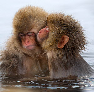 Young Japanese macaque (Macaca fuscata) 'kissing' another macque in the thermal hot springs, Jigokudani, Japan, January - Diane  McAllister