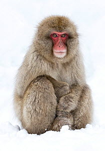 Japanese Macaque (Macaca fuscata) adult sitting in snow with paws stacked, Jigokudani, Japan, January  -  Diane  McAllister