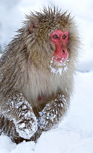 Japanese Macaque (Macaca fuscata) foraging for food in deep snow, front paws covered in snow, Jigokudani, Japan, January - Diane McAllister