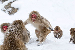 Japanese Macaque (Macaca fuscata) aggressive adult male approaches another monkey in Jigokudani, Japan. February - Diane McAllister