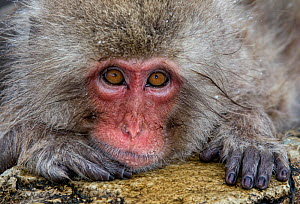 Japanese Macaque (Macaca fuscata) positioned on the edge of the hot springs with head on rock, paw under chin, staring, Jigokudani, Japan, January  -  Diane  McAllister