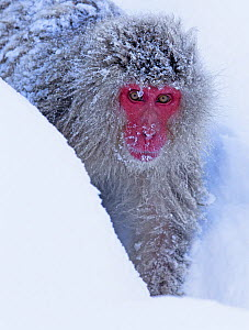 Japanese Macaque (Macaca fuscata) following the established trail in the snow to get to the hot springs in Jigokudani, Japan, February - Diane McAllister