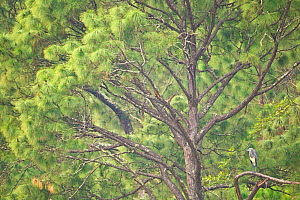 White-bellied Heron (Ardea insignis) in tree, Punasangtchu, Bhutan. Critically endangered species. - Sandesh  Kadur