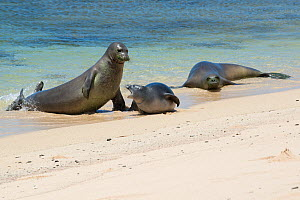 Hawaiian monk seals (Monachus schauinslandi) aggressive male attacks a five and a half week pup, mother (right) approaches to intervene; Papaloa Beach, Kalaupapa, Molokai, Hawaii, USA  -  Doug Perrine