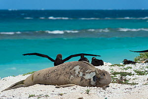 Hawaiian monk seal (Monachus schauinslandi)   resting on beach while shedding skin and fur during annual molt or moult, Black-footed albatrosses, (Phoebastria nigripes) in background, East Island, Fre...  -  Doug Perrine