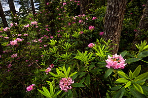 Wild Rhododendrons (Rhododendron sp) in bloom in Olympic National Forest, Washington, USA, May  -  Floris  van Breugel