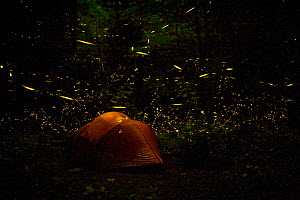 Tent at night surrounded   by Fireflies (Photinus carolinus) Great Smoky Mountains National Park, Tennessee, USA, June 2013. - Floris van Breugel,Floris  van Breugel