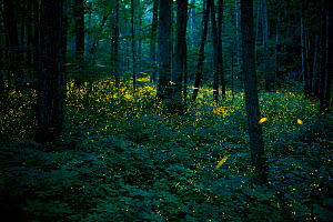 Syncronous Fireflies (Photinus carolinus) illuminate the lush forests of Smoky Mountains National Park, Tennesse, USA, July  -  Floris  van Breugel
